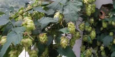 Humala - hops